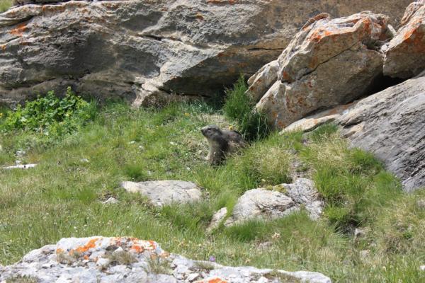 Col de la Vanoise - 2 - Marmotte
