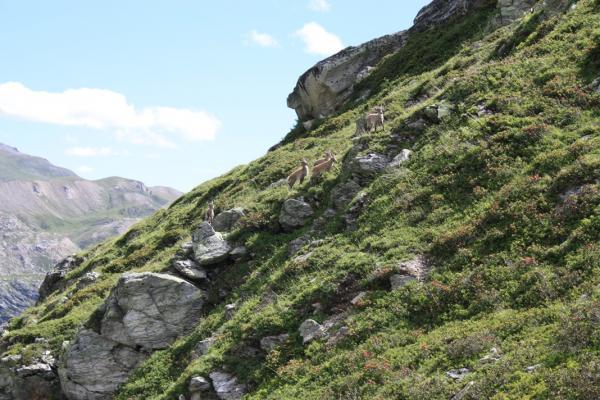 Col de la Vanoise - 5 - Des bouquetins